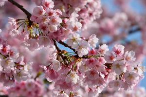 国立の桜-1