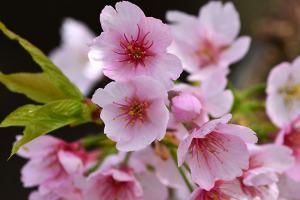 国立の桜-2
