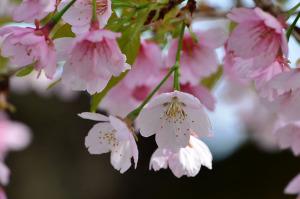 国立の桜-3