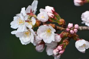 多摩川の桜-1