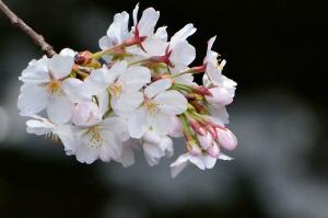 多摩川の桜-2