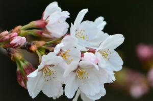 多摩川の桜-3