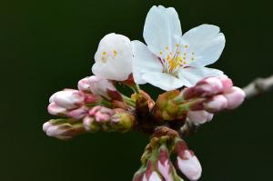 多摩川の桜-4