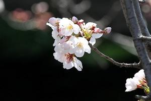2015桜-1