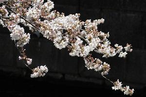 2015桜-2
