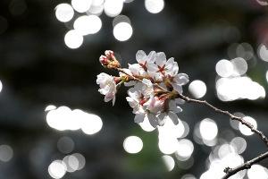 2015桜-3