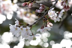 2015桜-4