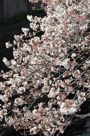 2015桜-6