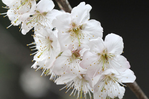 2017桜_4