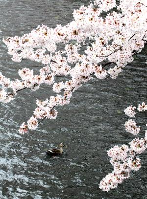 2017の桜_2