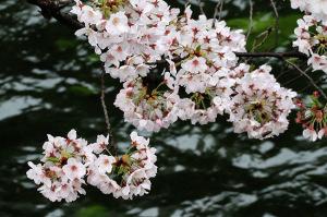 2017の桜_3