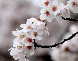 2017の桜_5