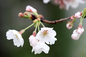 2017の桜_6