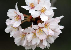 2017の桜_7