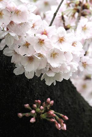 2017の桜_8