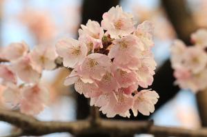 Sakura-6