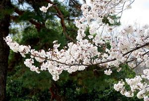 春の花-7