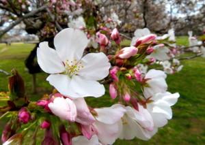 春の花-8